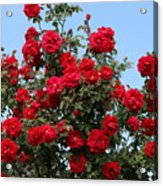 Red Climbing Roses Acrylic Print
