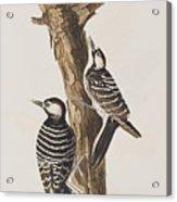Red-cockaded Woodpecker Acrylic Print