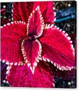 Red Coleus Acrylic Print