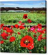 Red Corn Poppies At The Fence Acrylic Print