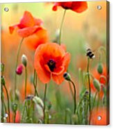 Red Corn Poppy Flowers 06 Acrylic Print