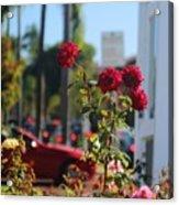 Red Coronado Roses Acrylic Print