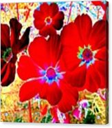 Red Cosmos Acrylic Print
