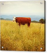 Red Cow On The Blue Ridge Acrylic Print