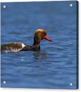 Red-crested Male Pochard Duck, Netta Rufina Acrylic Print