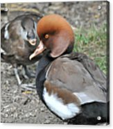 Red Crested Pochard Duck Acrylic Print