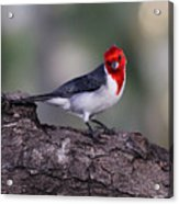 Red Crested Posing Acrylic Print