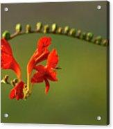 Red Crocosmia Acrylic Print