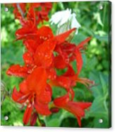 Red Crocosmia Lucifer Acrylic Print
