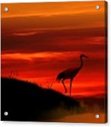 Red Crowned Crane At Dusk Acrylic Print