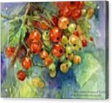 Red Currants Berries Watercolor Acrylic Print
