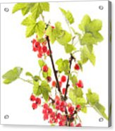 Red Currants Acrylic Print