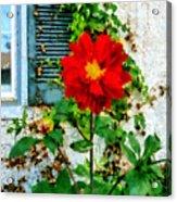 Red Dahlia By Window Acrylic Print