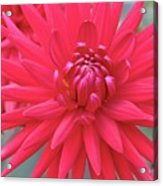 Red Dahlia Delight Acrylic Print