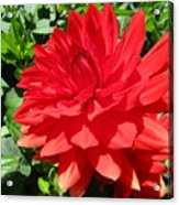 Red Dahlia In The Green Acrylic Print