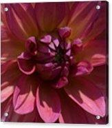 Red Dahlia Macro Acrylic Print