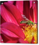 Red Dahlia With Wasp Acrylic Print