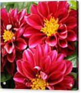 Red Dahlias Acrylic Print