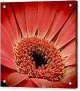 Red Daisy Acrylic Print