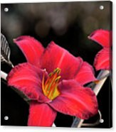 Red Day Lilies Acrylic Print