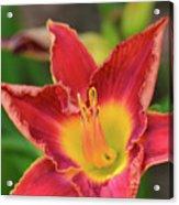 Red Daylily Acrylic Print