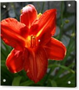 Red Daylily With Sunlight Acrylic Print