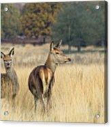 Red Deer 7 Acrylic Print