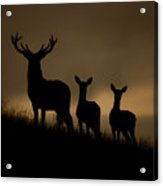 Red Deer At Dawn Acrylic Print