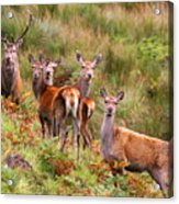 Red Deer In The Scottish Highlands Acrylic Print