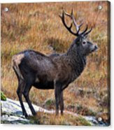 Red Deer Stag In Autumn Acrylic Print