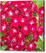 Red Dianthus Acrylic Print