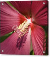 Red Disco Belle Hibiscus Painting Acrylic Print