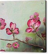 Red Dogwood - Cherokee - Springtime Acrylic Print