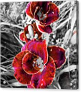 Red Double Lily Acrylic Print