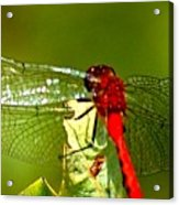 Red Dragon 2 Acrylic Print