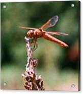 Red Dragonfly II Acrylic Print