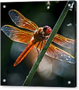 Red Dragonfly On Reed Acrylic Print