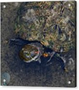 Red Eared Slider Turtle Acrylic Print
