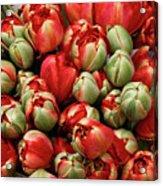 Red Elegant Blooming Tulips  Acrylic Print