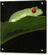 Red Eye Frog Acrylic Print
