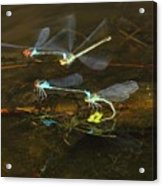 Red Eyed Damselflies Flying And Mating Party Acrylic Print