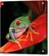Red-eyed Tree Frog Agalychnis Acrylic Print