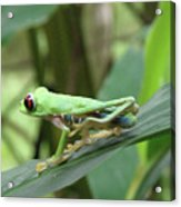 Red Eyed Tree Frog On A Leaf Acrylic Print