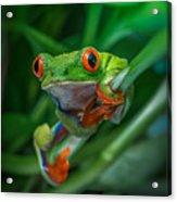 Red Eyed Tree Frog Acrylic Print
