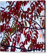 Red Fall Colors Acrylic Print