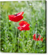 Red Field Poppies Acrylic Print