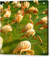 Red Florida Flamingos In Green Water Acrylic Print