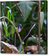 Red-flanked Bluetail 2 Acrylic Print