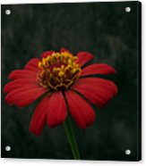 Red Flower 5 Acrylic Print