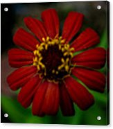 Red Flower 8 Acrylic Print